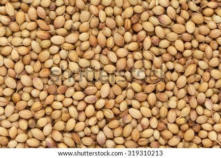 Organic Dried coriander seeds (Coriandrum sativum) closeup background texture.