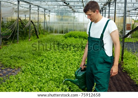 organic farmer watering basil plants in a greenhouse