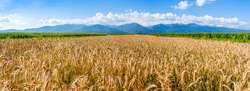 Organic farming of wheat. Wheat field in montains area. Ripe golden wheat in organic farm ready for harvest