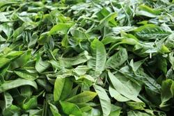 Organic fresh grean tea leaf