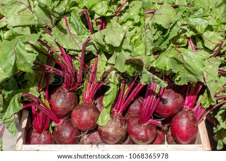 Organic, fresh, young raw red beets roots for sale at a local farmers market in Ubud, Bali, Indonesia. Close up