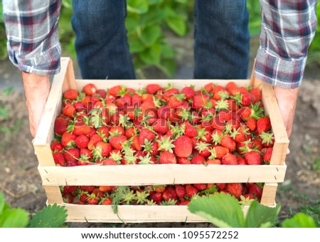 Organic fruit and vegetable production. Farmer holding crate full of red fresh strawberries in the field. Healthy nourishment.