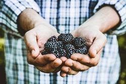 Organic fruit. Farmers hands with freshly harvested fruit. Fresh organic blackberries.