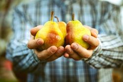 Organic fruit. Healthy food. Fresh pear in farmers hands