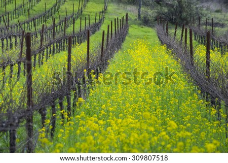 organic grape vineyard in...