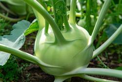 Organic green kohlrabi cabbage growing in farm garden, new harvest, healthy food concept