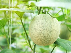 Organic green net melon or cantaloupe fruit hanging on a melon tree in the greenhouse farm.