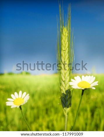 Organic green wheat close up - stock photo