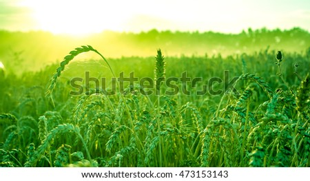 Organic green wheat in sunshine texture, green wheat as background, high quality resolution