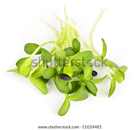 Organic green young sunflower sprouts isolated on white background