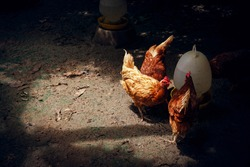 Organic hens or chicken eat food and vitamin water in farm,It is poultry farming is the process of a raising domesticated chickens for the purpose of farming meat or eggs for sale