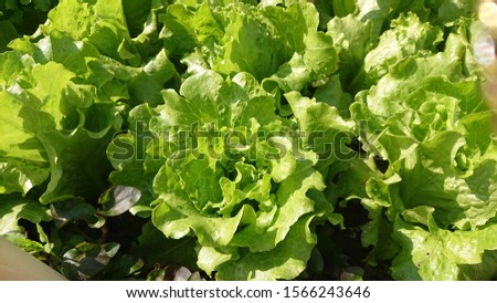 Organic Homegrown Lettuce Green Salad