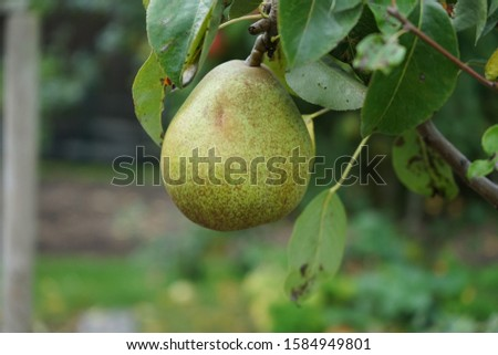 Organic homegrown pear hanging on a tree ready to be harvested