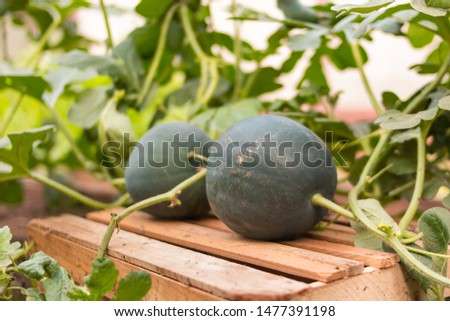 Organic homegrown watermelon on vegetable country garden
