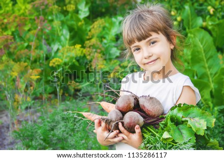 organic homemade vegetables harvest carrots and beets in the hands of a child. Selective focus. nature.