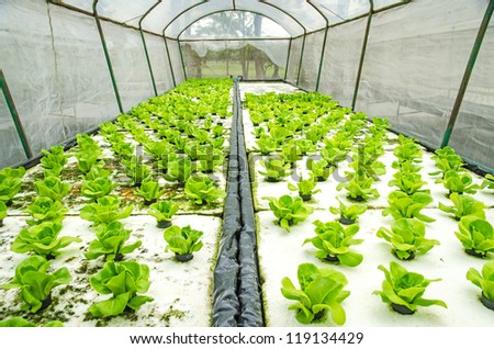 Organic hydroponic vegetable - stock photo
