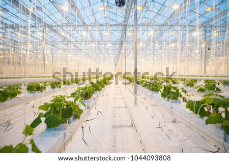 Organic hydroponic vegetable cultivation farm. Modern big greenhouse #1044093808