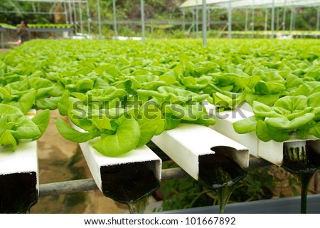Organic Hydroponic Vegetable Garden At Cameron Highlands Malaysia ...