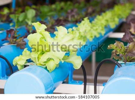 Organic hydroponic vegetable garden in greenhouse at Thailand