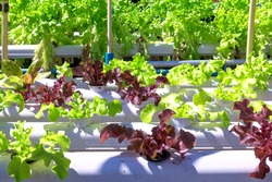 Organic hydroponic vegetable growing in water without soil at home.Aquaponics cultivation from home.