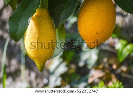 organic lemon fruits on the tree