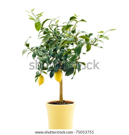 organic lemon tree isolated on white background