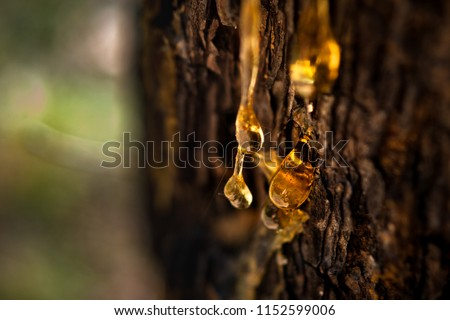 Organic life concept: leaking bright yellow drops of pine tar, resin, with a spider web on a dark tree bark background, sunny summer day Сток-фото ©
