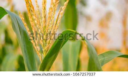 Organic maize field or corn field. It agriculture farm on sunset. It safety corn to food for people. It growing and harvest on farmland in countryside.