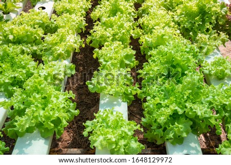 Organic many kinds vegetables grown in water in a line arranged in rows.Organic many kinds vegetables grown in water in a line arranged in rows.
