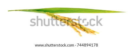 organic paddy rice,ear of paddy, ears of Thai jasmine rice isolated on white background #744894178