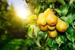 organic pears on tree branch