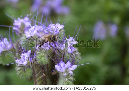 Organic plant. Insect pollinating. Wasp insect. Wasp or bee with wings on violet blooming flower. Insect pollinated flower, green background close up. Pollination and bloom concept. Botany and floral. #1415016275