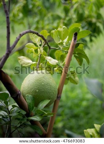 organic pomelo in green farm #476693083