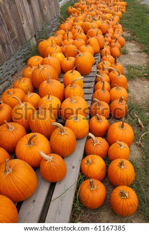 organic pumpkins at a farm ready for sale