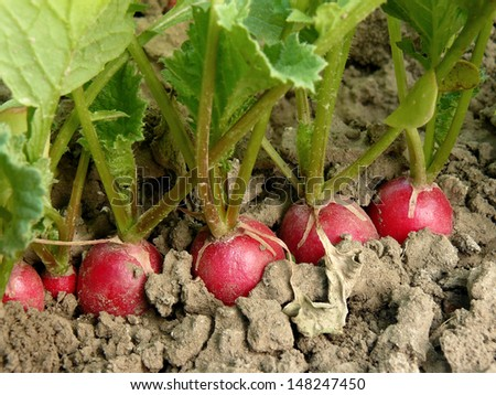 stock-photo-organic-radishes-growing-on-the-vegetable-bed-148247450.jpg