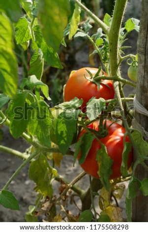 Organic red tomatoes growing on a branch in vegetable garden in the sunlight #1175508298