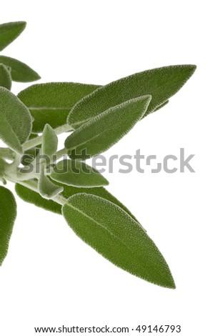 organic sage leaf details isolated on white background