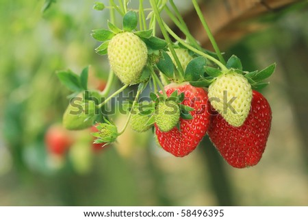 organic strawberry growth in plant