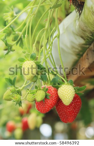 organic strawberry plant to growth