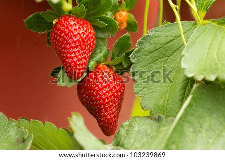 Organic strawberry plant with two big strawberries
