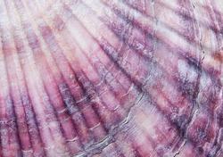 organic texture, sea shell closeup