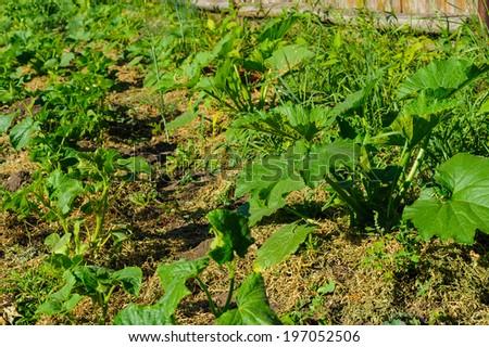 Organic vegetable garden pumpkin