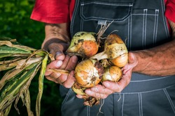 Organic vegetables. Fresh organic onions in the hands of farmers.