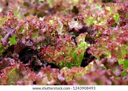 Organic vegetables, vegetable salads, chemical-free.