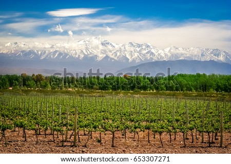 Organic vineyards near Mendoza in Argentina with Andes in the background