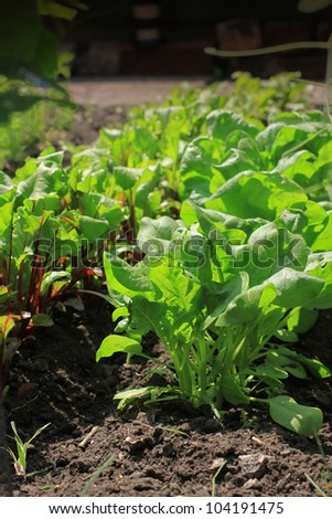 Organically growing beetroot and spinach vegetables in a small city garden vegetable plot.