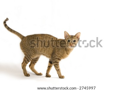 Oriental cat portrait
