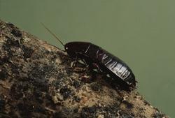 Oriental Cockroach (Blattidae) Insect Roach