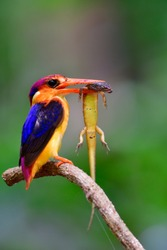 Oriental dwarf kingfisher (Ceyx erithaca)  black-backed or three-toed kingfisher, little vivid orange bird perching on tree branch carrying long tail lizard feed its baby in the nest