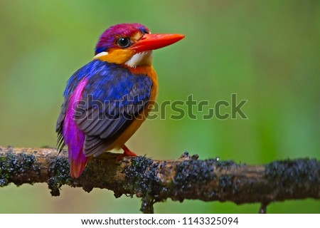 Oriental Dwarf Kingfisher or Three Toed Kingfisher or Black Backed kingfisher. It is one of the most colorful birds found in India